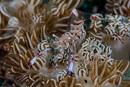 Holthuis' anemone shrimp (Ancylomenes holthuisi)