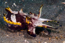 Flamboyant cuttlefish (Metasepia pfefferi)