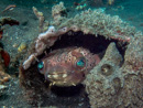 Orbicular burrfish (Cyclichthys orbicularis) in its hideout