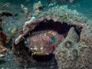 Rund igelkottsfisk (Cyclichthys orbicularis) i sitt gömställe