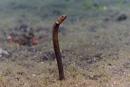 Many-toothed garden eel (Heteroconger perissodon)