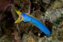 male Ribbon eel (Rhinomuraena quaesita)