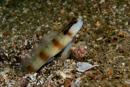 A shrimp goby (Amblyeleotris sp)