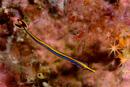 Honshu pipefish (Doryhamphus japonicus)