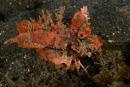 Taggig djävulsfisk (Inimicus didactylus)