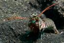 Blue spot mantis (Haptosquilla stoliura)