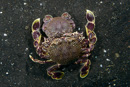 undetermined swimming crab