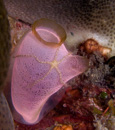 the sea-squirt Rhopalaea crassa with a brittlestar