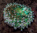 Torch coral (Euphyllia glabrescens) with acoel flatworms (Waminoa sp)