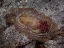Lumpy asteronotus (Asteronotus cespitosus)