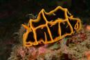 Halgerda reticulid (Reticulidia halgerda)