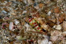 Randall's snapping shrimp (Alpheus randalli) with undetermined shrimpgoby