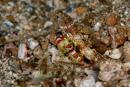 Randalls partnerräka (Alpheus randalli) med obestämd räksmörbult
