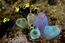sea-squirts (Rhopalaea crassa center, Clavelina robusta background)