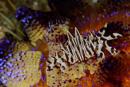 Zebra urchin crab (Zebrida adamsii)