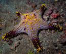 beautiful sea-star (Protoreaster sp)