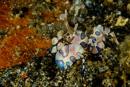 Harlekinräka (Hymenocera picta)