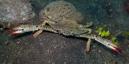 hona av Blå simkrabba  (Portunus pelagicus)
