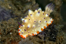undescribed dorid nudibranch (Mexichromis sp)