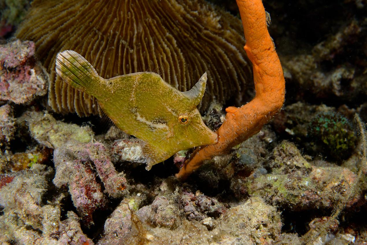 Bristle-tailed filefish (Acreichthys tomentosus)