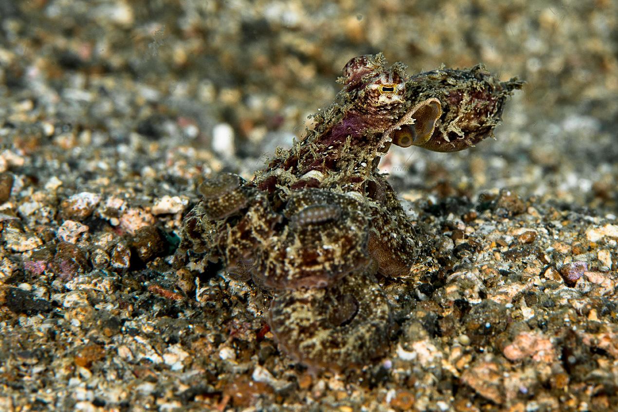 Algae octopus (Abdopus aculeatus)