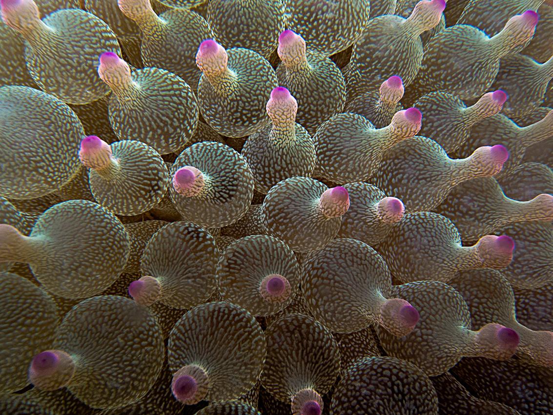 Bubble-tip anemone (Entacmaea quadricolor)