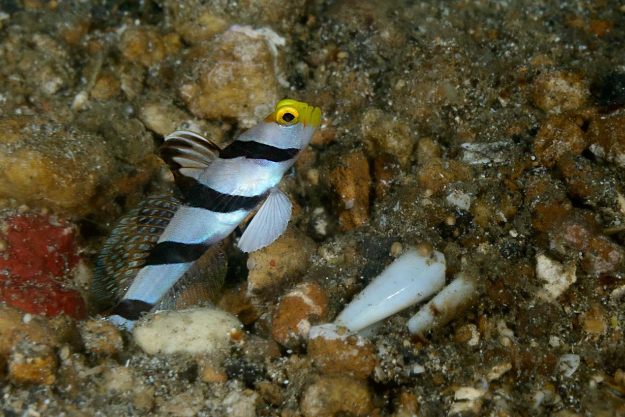 Yellownose shrimpgoby (Stonogobiops xanthorhinica)
