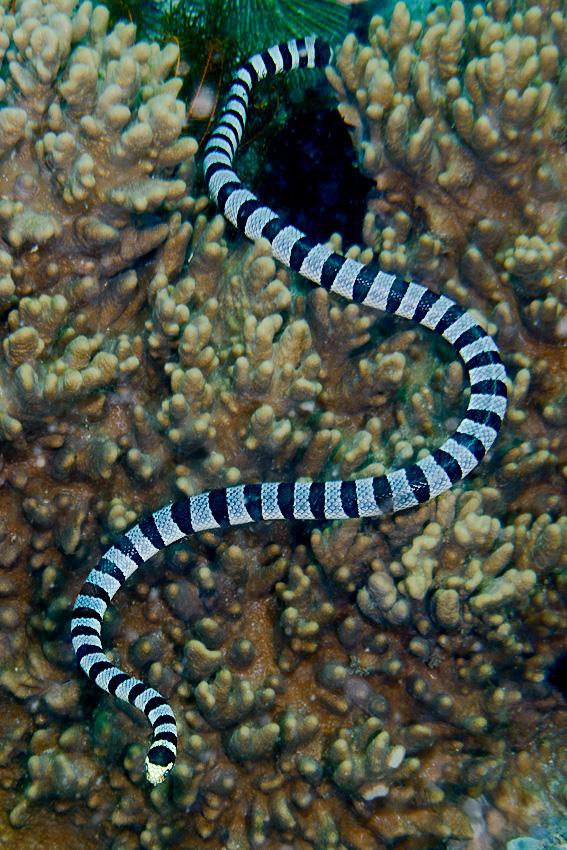 Banded sea krait (Laticauda colubrina)
