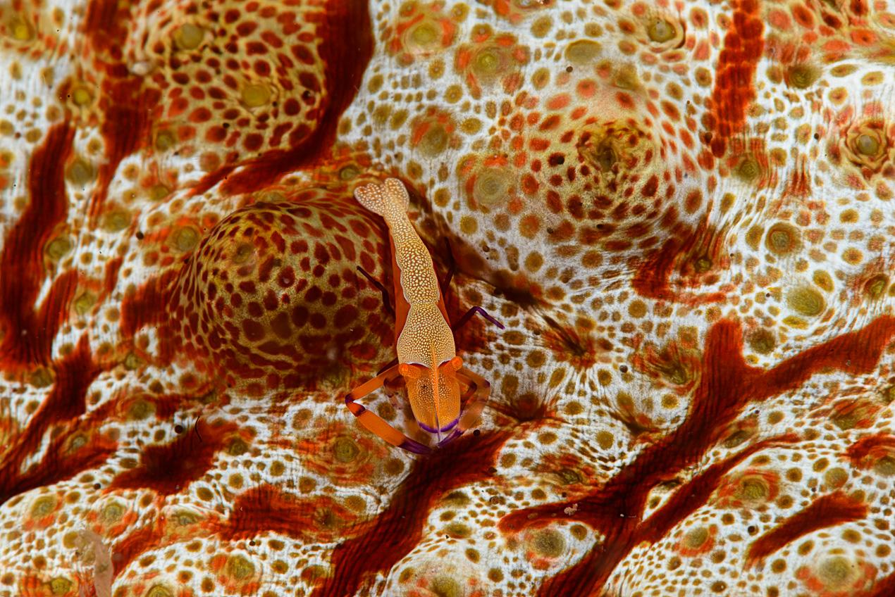 Imperator shrimp (Periclimenes imperator)