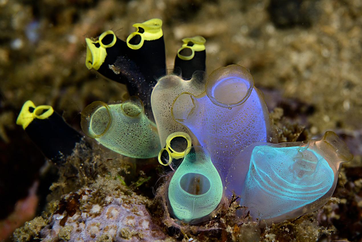 sea-squirts (Rhopalaea crassa center, Clavelina robusta background)