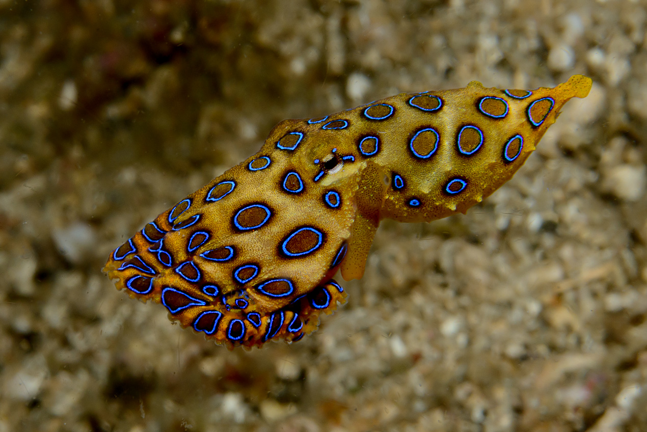 Blue-ringed ocopus (Hapalochlaena lunulata)