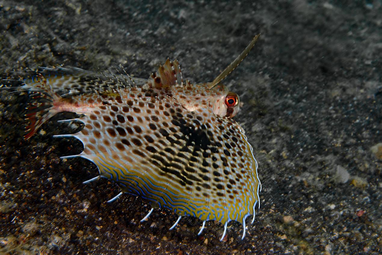 Helmet Gurnard (Dactyloptena orientalis)