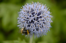 Bumblebee in Allium flower