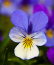 Heartsease (Viola tricolor)