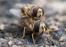 Blomflugor (Syrphidae)