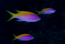 Yellowback anthias (Pseudanthis evansi)