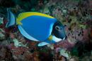 Ljusblå kirurgfisk (Acanthurus leucosternon)