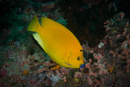 Three-spot angelfish (Apolemichthys Trimaculatus)