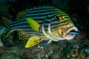 Orientalisk grymtfisk (Plectorhinchus orientalis) vid putsarstation