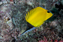 Long-nosed butterflyfish (Forcipiger flavissimus)