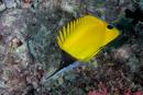 Pincettfisk (Forcipiger flavissimus)