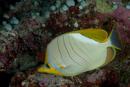 Yellowhead butterflyfish (Chaetodon xantocephalus)