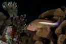 Arc-eye hawkfish (Paracirrhites arcatus)