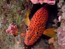 Jewel grouper (Cephalopholis miniata)
