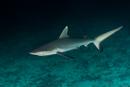 Grå revhaj (Carcharhinus amblyrhyncus)