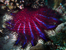 Crown of thorns sea star (Acanthaster planci)