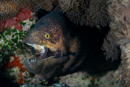 Masked moray (Gymnothorax breedeni)