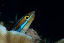 Bluestripe fangblenny (Plagiotremus rhinorhynchos)