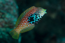 Vermiculate wrasse (Macropharyngodon bipartitus), female