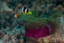 Maldives and Clark's anemonefish (Amphiprion nigripes and A clarkii)